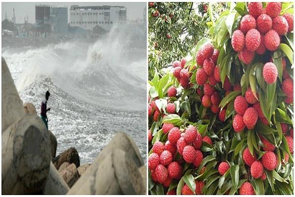 amphan storm made boon for litchi