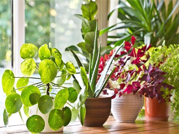 पॉजिटिविटी देते हैं प्लांट, वास्तु के हिसाब से ये पौधे लकी
