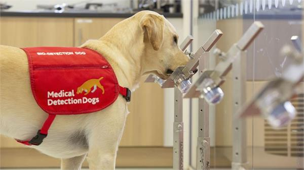 covid dogs  could sniff out up to 250 people an hour for coronavirus