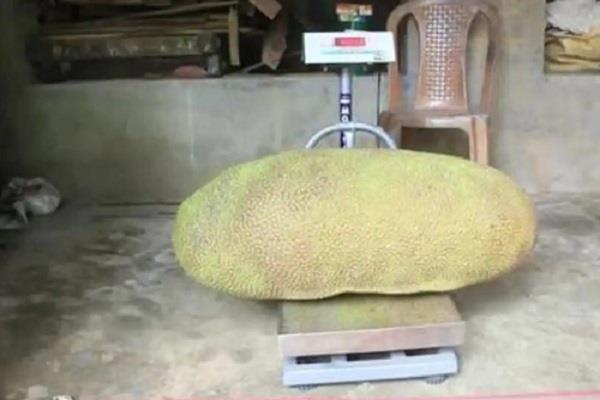 guinness book of records registered in the name of the jackfruit kerala