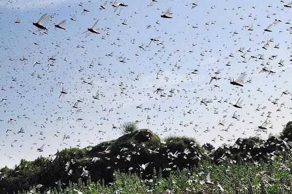 government released 1 crore rupees to tackle grasshopper