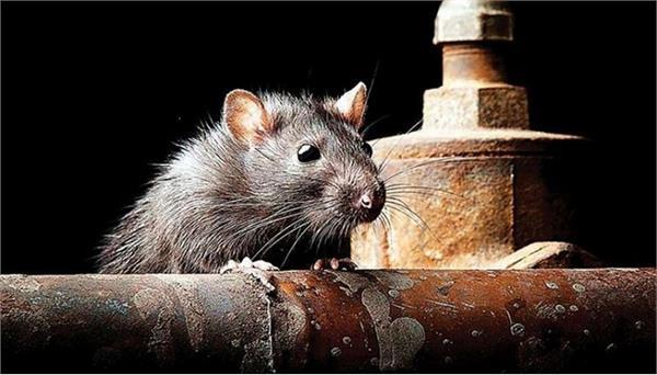 danger of mice spreading disease on humans 11 cases registered