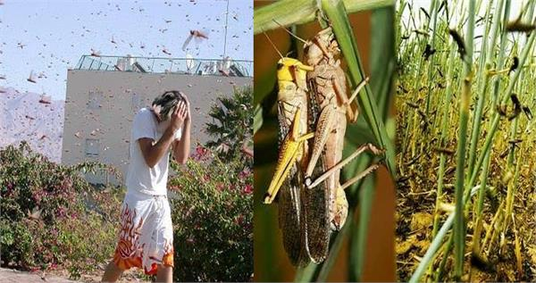 a group of locusts arrived from pakistan poses great threat to india