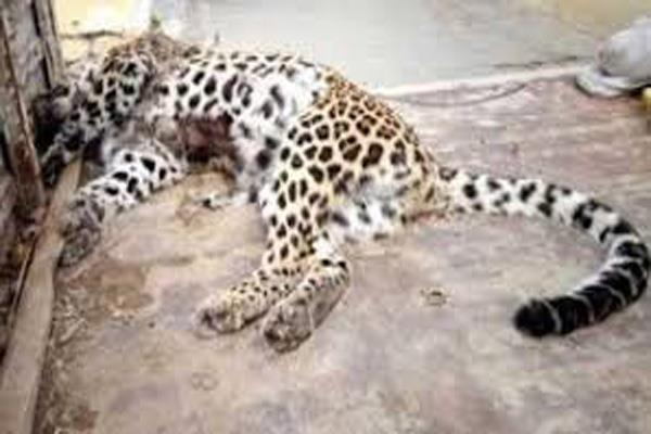 bullet ridden body of leopard found in bhaderwah