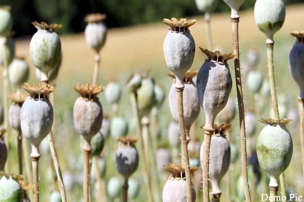 11147 opium plants destroyed