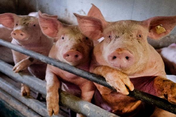 another dangerous swine flu found in china