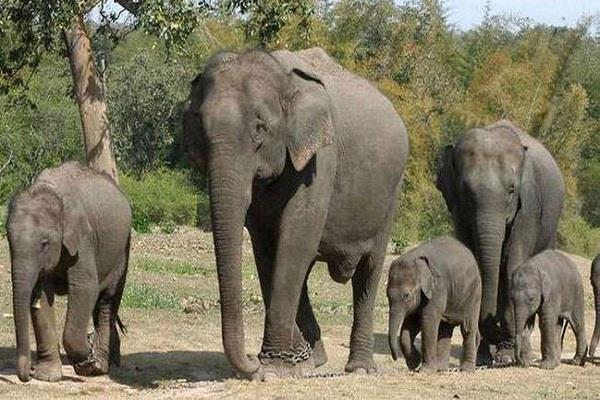 number of elephants is increasing in uttarakhand