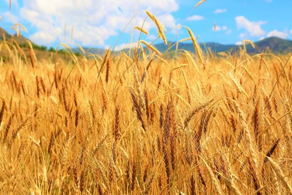 modi government buys wheat at record level in lockdown farmers get