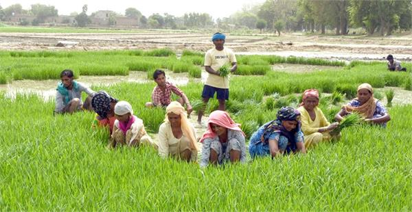 paddy planting started in punjab from today