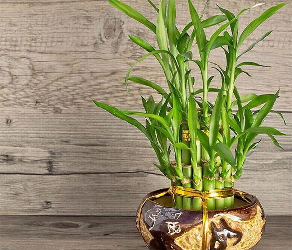 ऐसा पौधा जो निकाल सकता हैं आपकी सारी परेशानियों का हल!