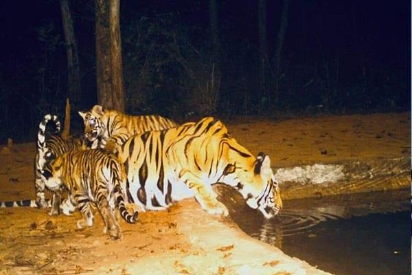impact of lockdown in bandhavgarh tiger reserve park