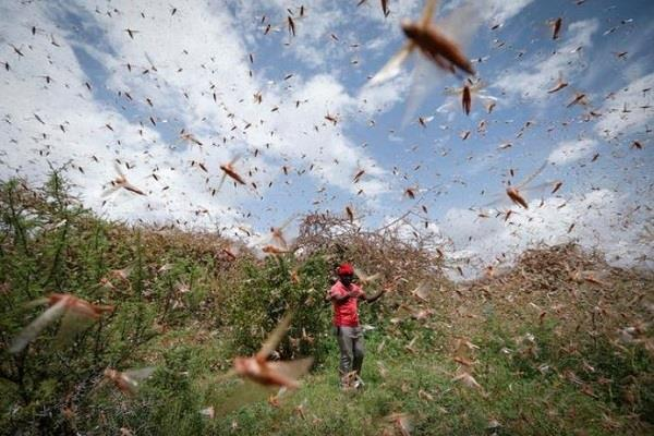 locust party arrived in auraiya damage to crops