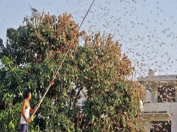 locust gang attack in madhya pradesh
