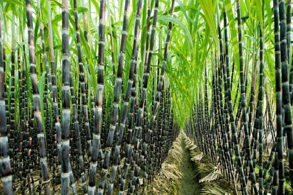 sugarcane payment of one lakh crore rupees made to 47 lakh farmers