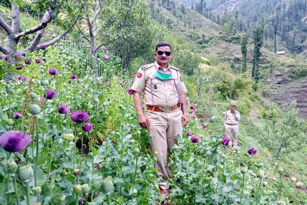 opium farming busted in mandi