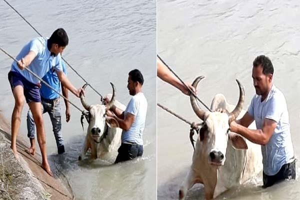saved life of 2 oxen by jumping in canal