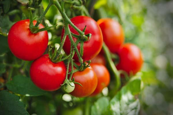 tomato costs 60 70 kg in most cities paswan cited short season as the reason