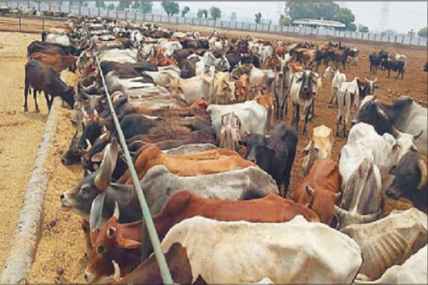 case of death hundreds of cows are not killed
