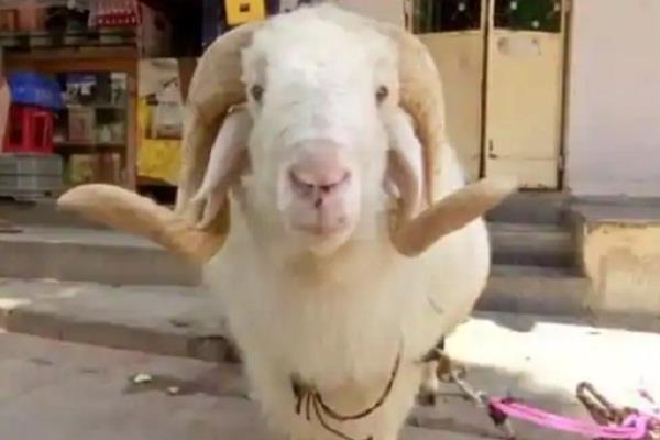 corona virus goat bakrid