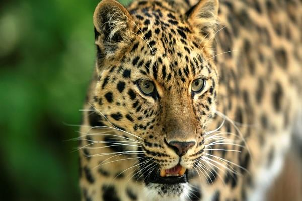 leopard terror in nahan goat attacked in broad daylight