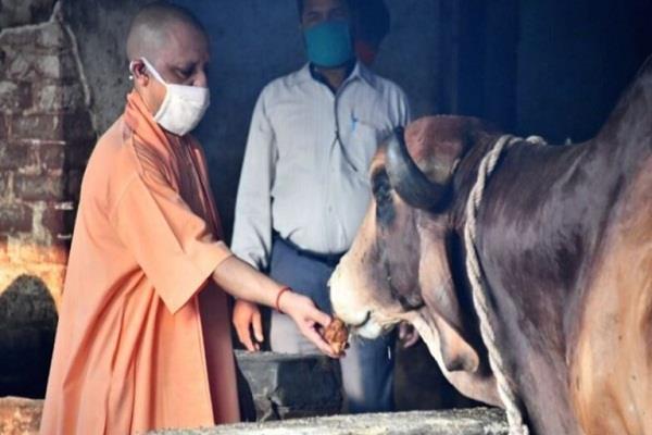 cm yogi served cows fed poori and jaggery in gorakhnath temple