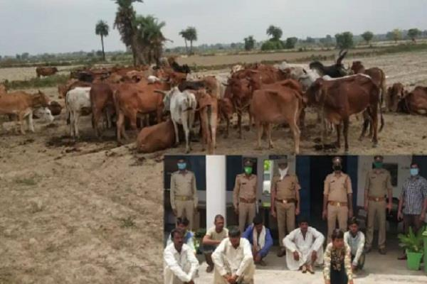 mathura police a big success 9 cow smugglers arrested