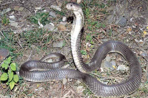 snake bite 2 brother death of one
