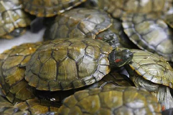 preparation to take turtle meat in many countries including china