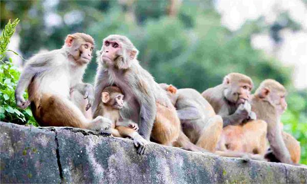monkeys will be fed fruit to give a clear path to pm modi