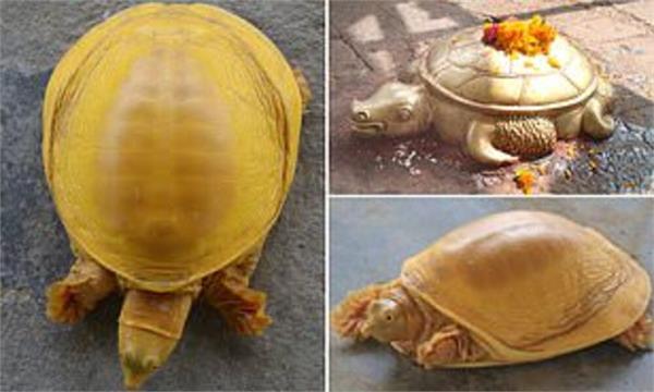 golden tutrle found in nepal
