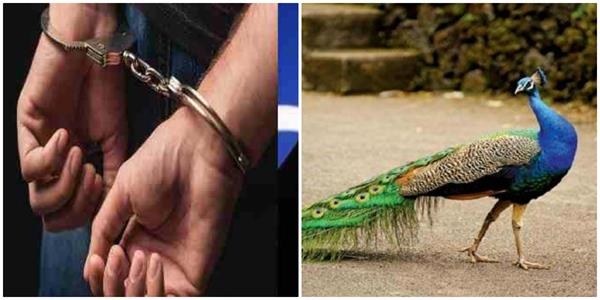two minors arrested for hunting national bird peacock in farrukhabad