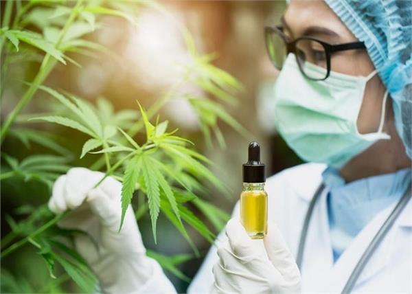Corona Medicine: अब औषधीए रूप में काम आई भांग