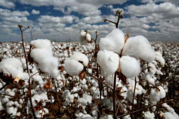 bumper production of cotton will be again after 7 years in india