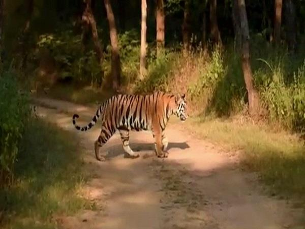 tiger attacked two youths in buffer zone one youth seriously injured