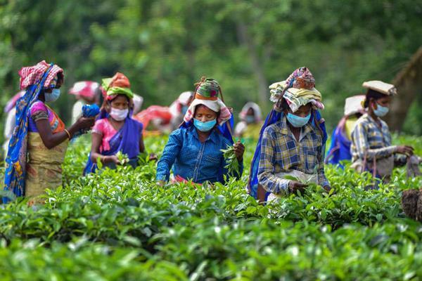 north bengal tea garden workers will get 20 bonus
