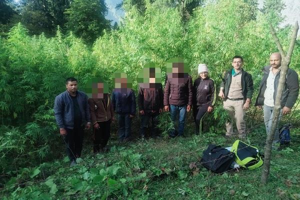 kullu police recovered khodu thoch 1 lakh hemp plant recovered