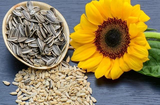 रोजाना खाएं मुट्ठीभर सूरजमुखी के बीज, सेहत को मिलेंगे गजब के फायदे