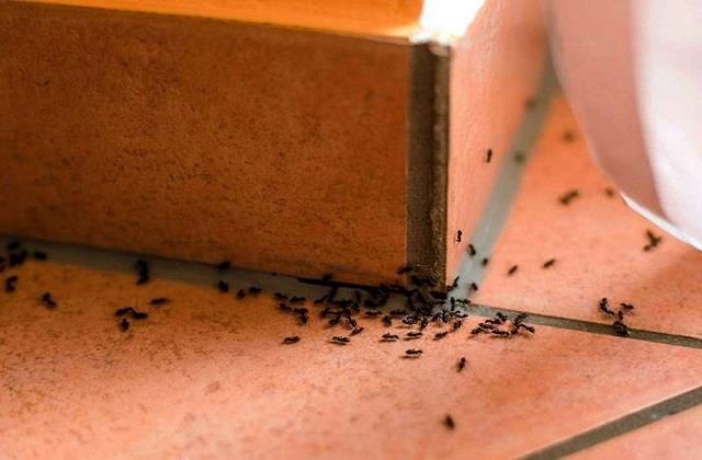 शुभ या अशुभ, जानिए घर में चींटियों का आना किस बात का देती है संकेत