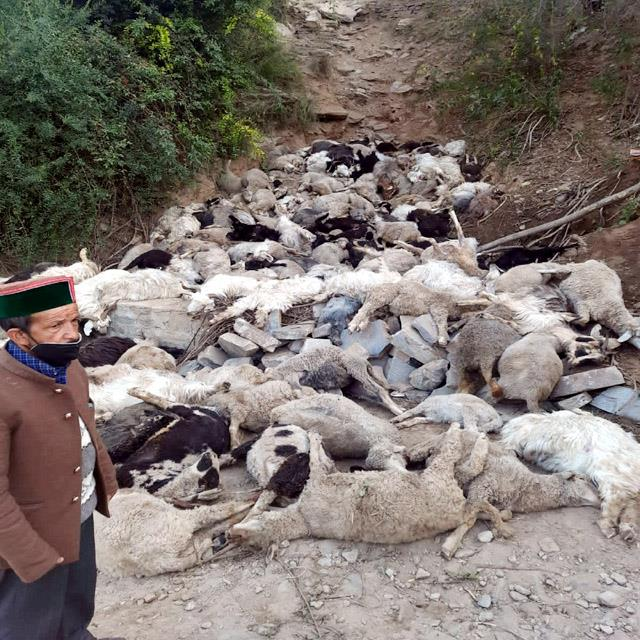 442 sheep and goats died after falling into a deep gorge