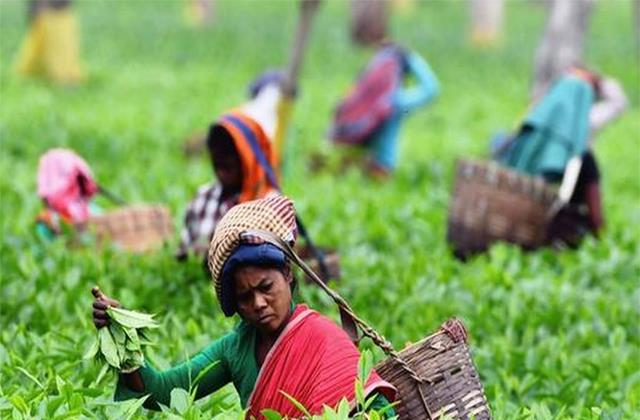 tea industry challenges to continue in 2021 22 report