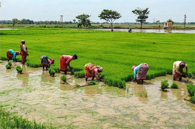 government bought 531 lakh tonnes of paddy on msp till 8 january