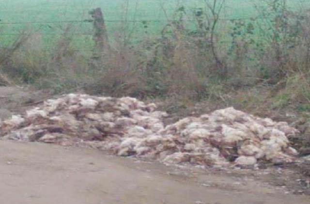 bird flu lab report of dead chickens came out