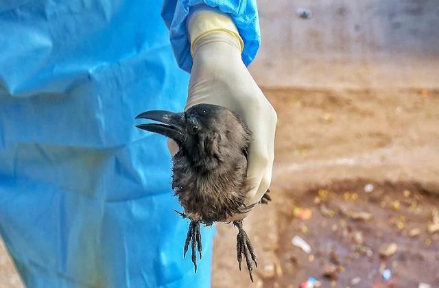 bird flu panic mohali