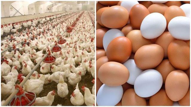 bird flu eggs and chicken business hit 50 percent