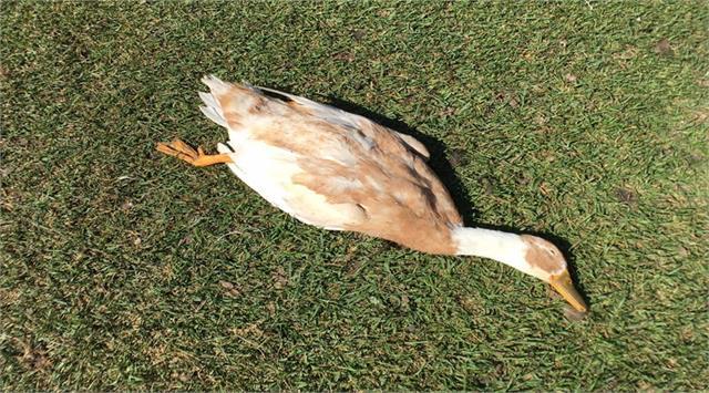 panic spread with corona as well as bird flu