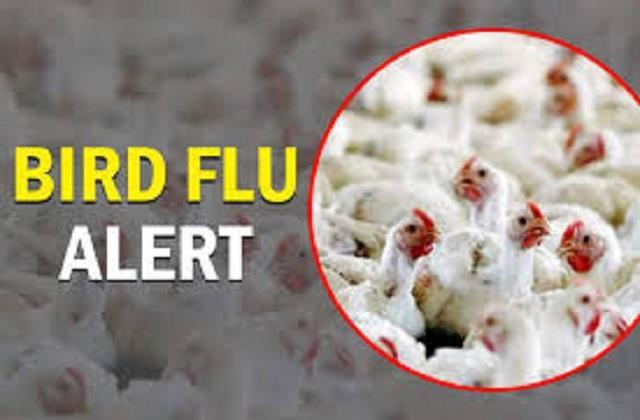 big breaking  confirmation of bird flu among dead chickens thrown in parwanoo