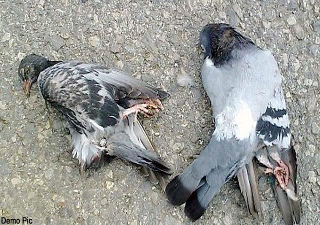 dozens pigeons and crow found dead in aani