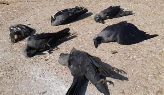 reports of birds found dead in the hawani of sundernagar negative