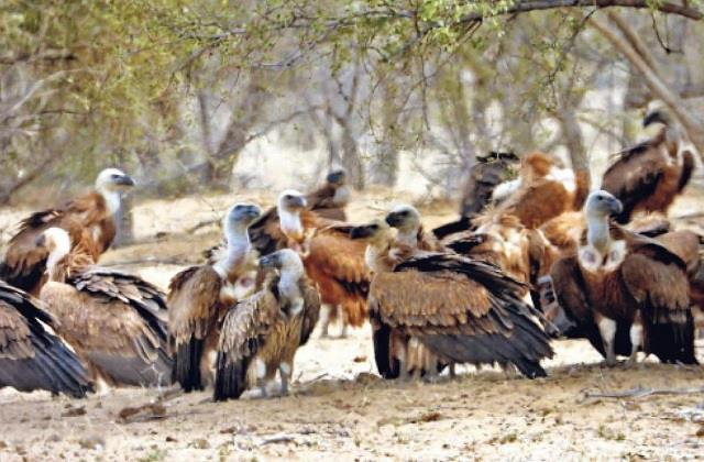 etawah s chambal valley becomes the new home for himalayan vultures