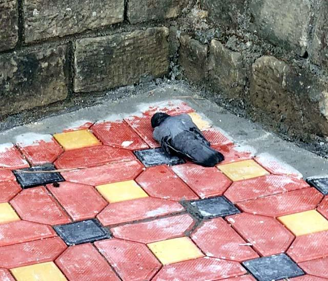 dead pigeon found outside mp kishan kapoor s house